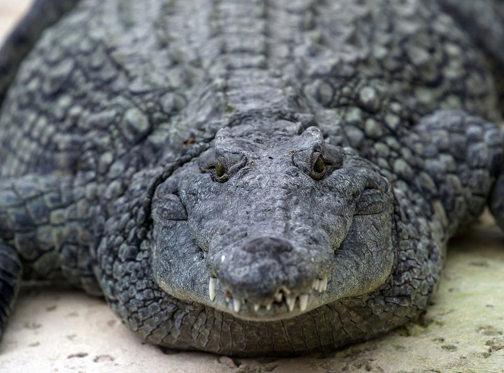 The crocodiles were monitored with infrared cameras