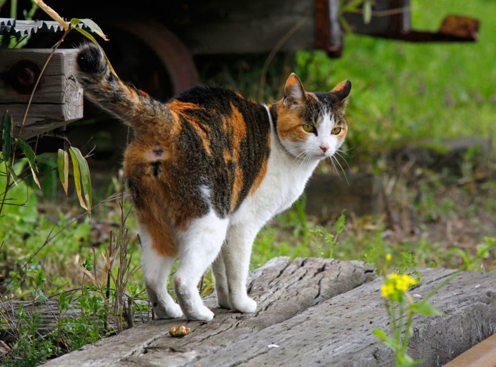Calico felines have trendily asymmetric markings