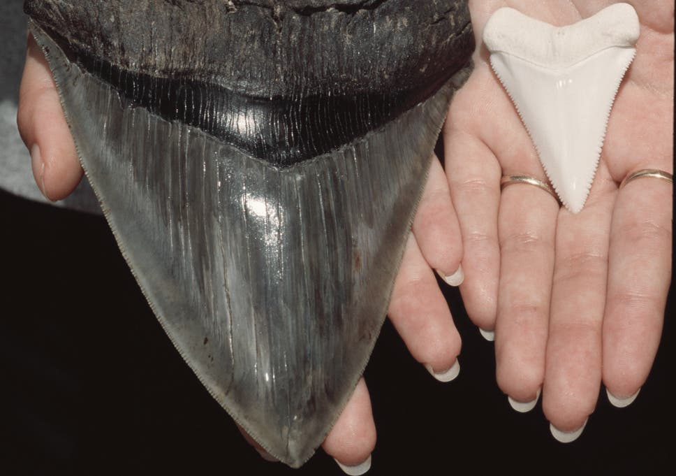 Beach goers in North Carolina found several megalodon teeth over the weekend..