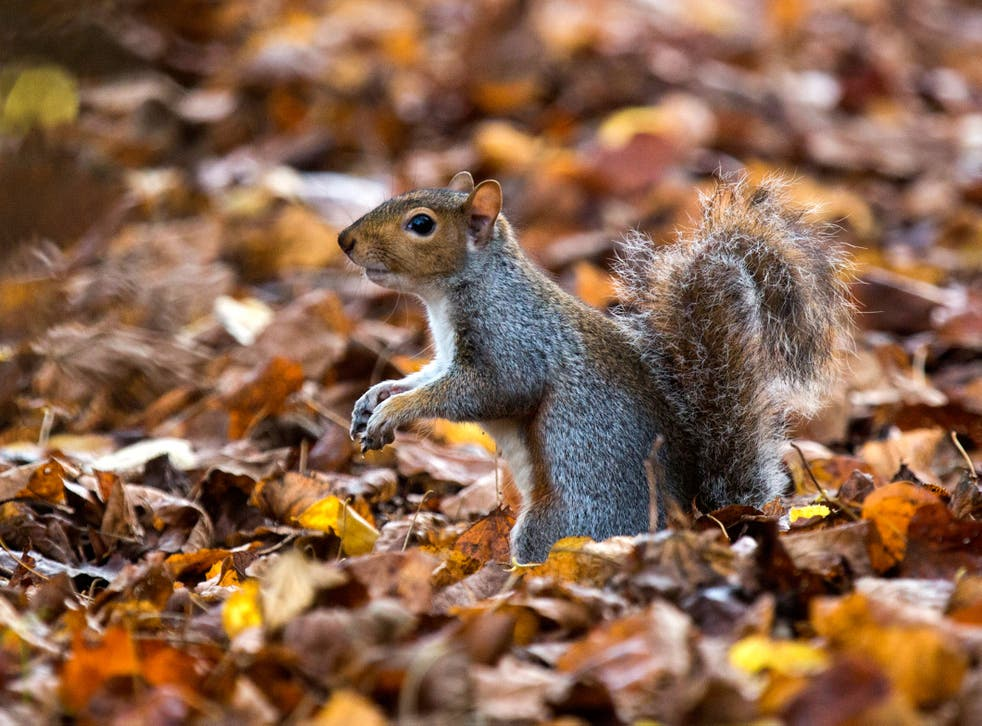 Grey squirrels have been wiped from the Welsh island Anglesey