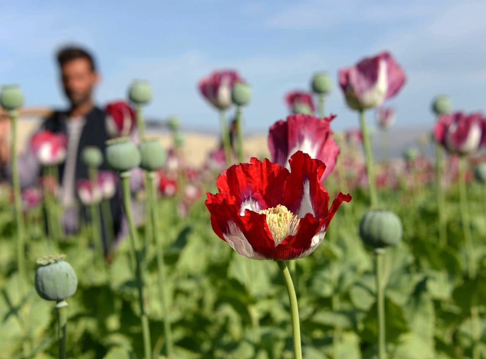 The opium poppy has been the source of the most powerful painkiller known to science for thousands of years