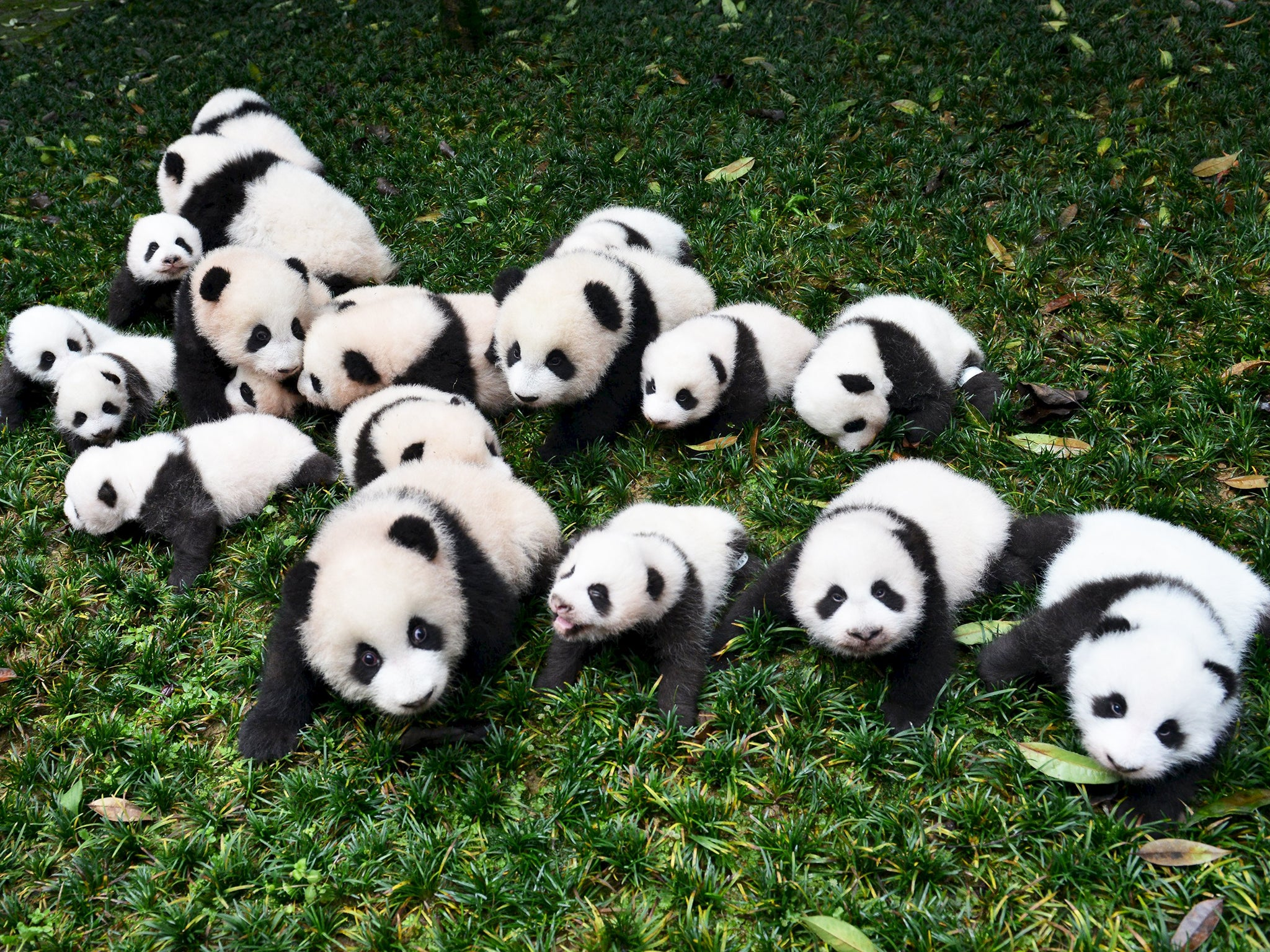 panda expert claims the international breeding programme has failed the independent. Black Bedroom Furniture Sets. Home Design Ideas