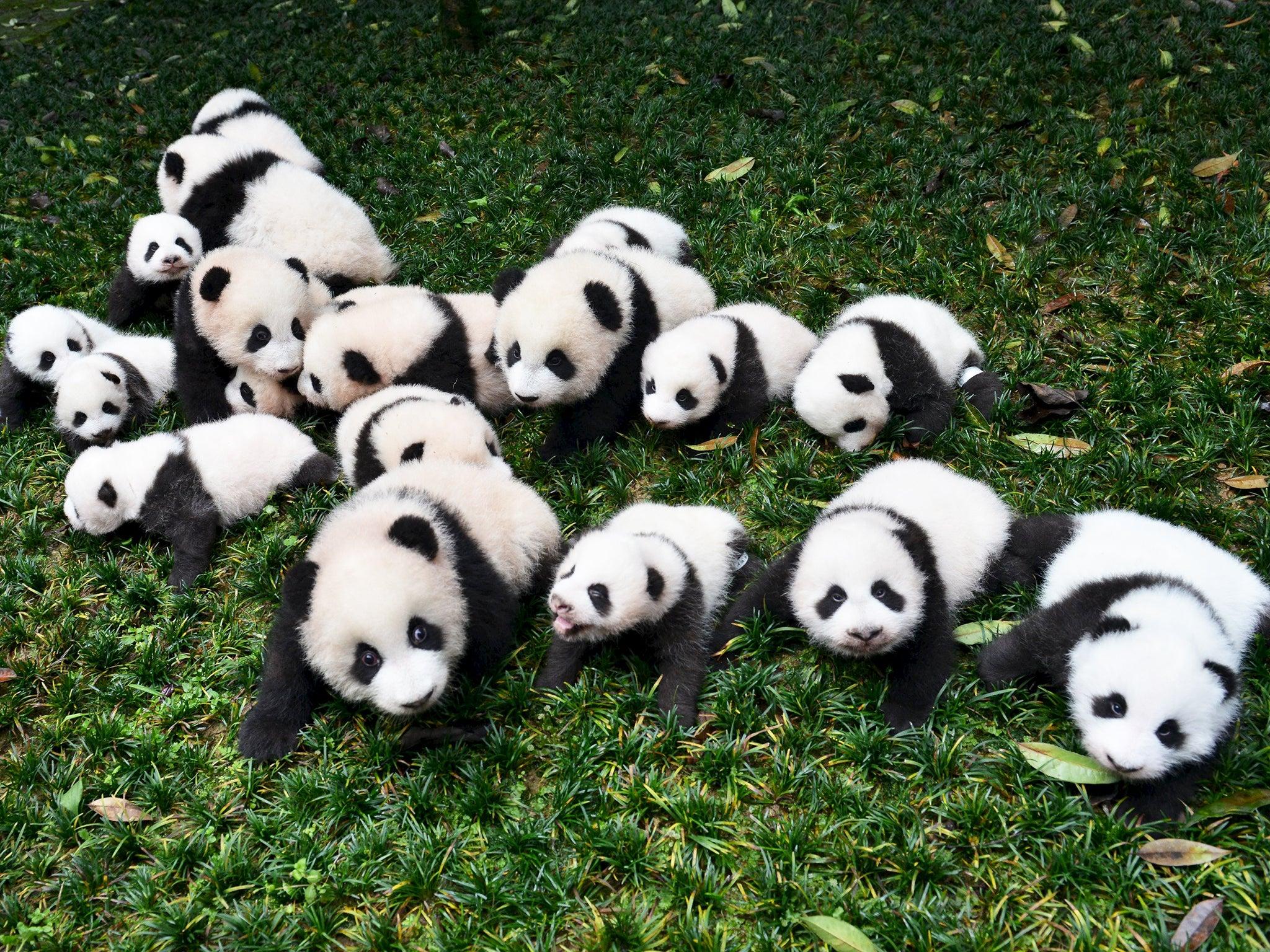 Panda Expert Claims The International Breeding Programme