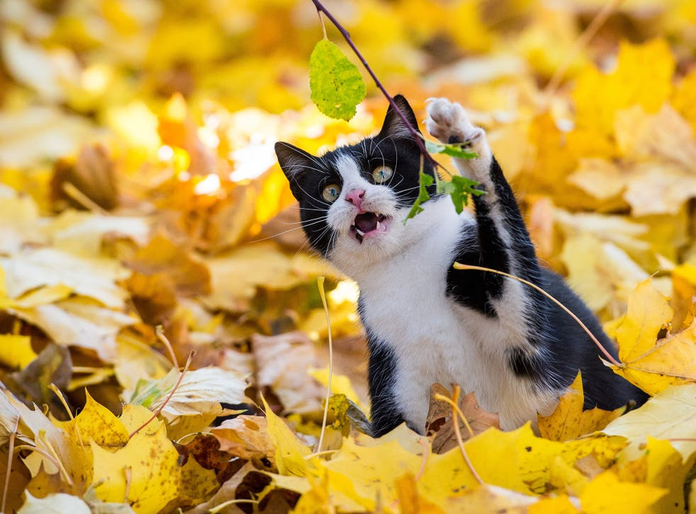 A cat plays with colorful leaves in a garden