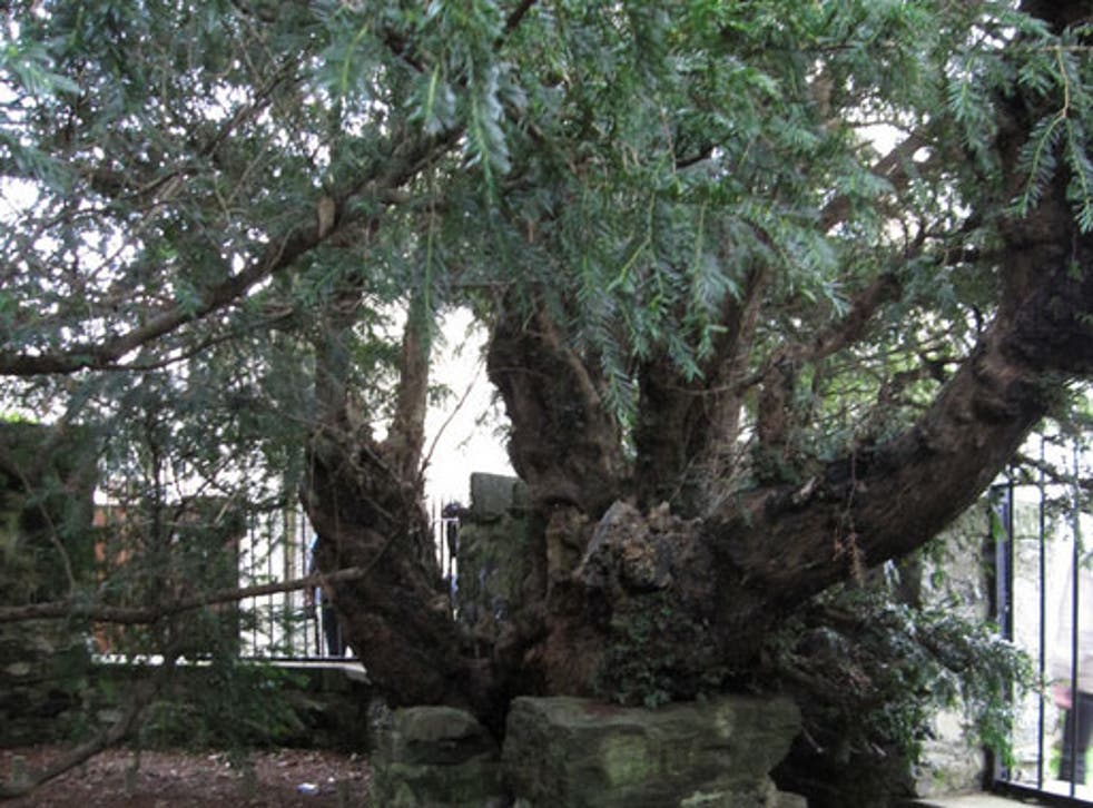 'Three ripe red berries' have been spotted on one of the yew's branches associated with female trees