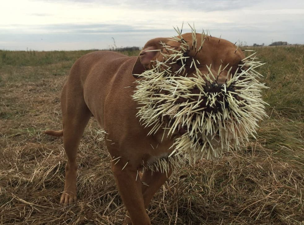 Nestah following the run-in with the porcupine