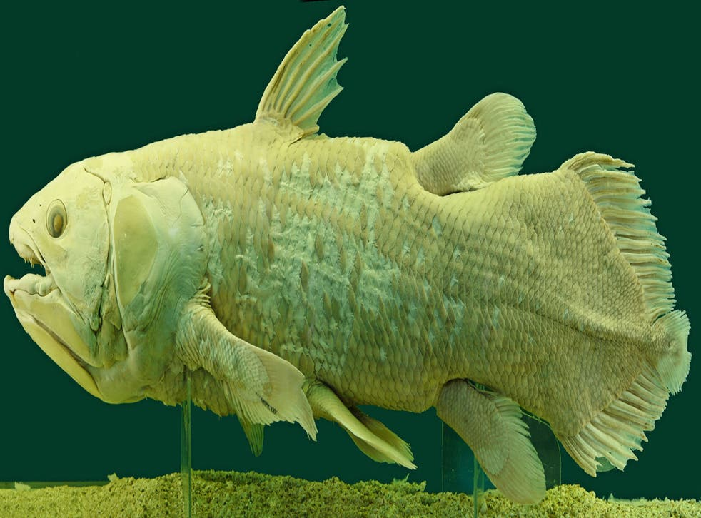 The coelacanth is possibly the most famous of Lazarus species