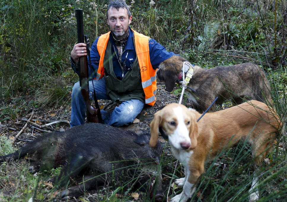 Call for end to hunting curbs as wild boars rampage across