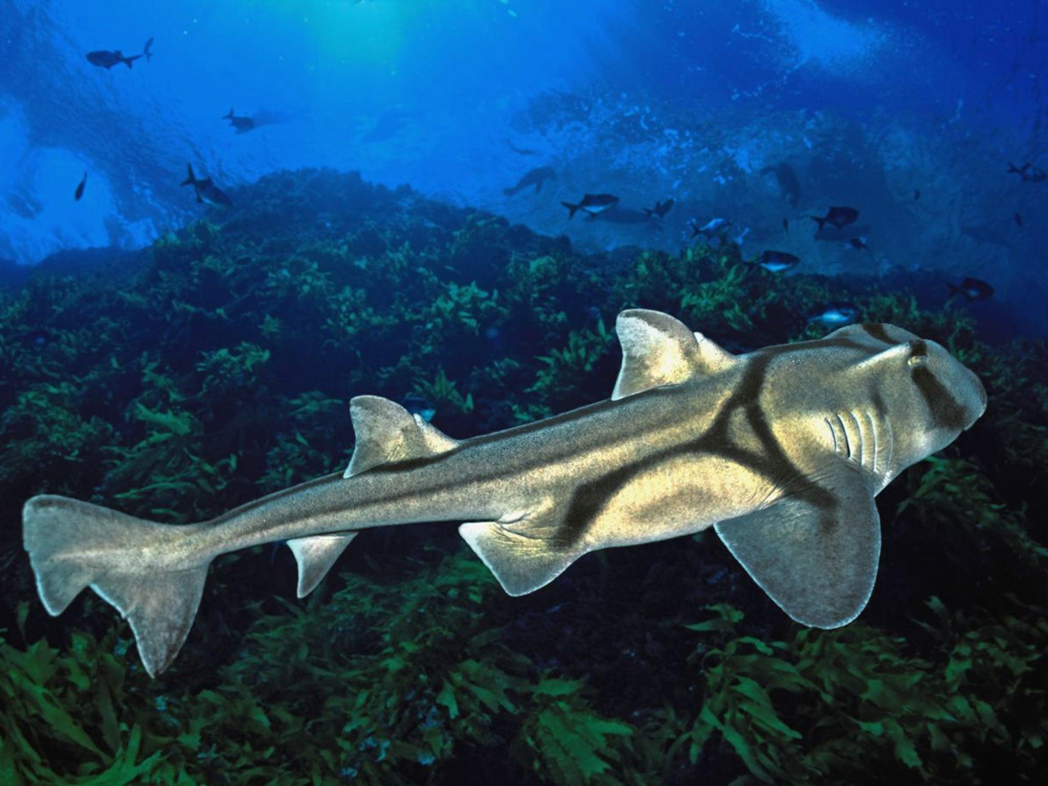 global warming could make sharks u0027smaller and less aggressive