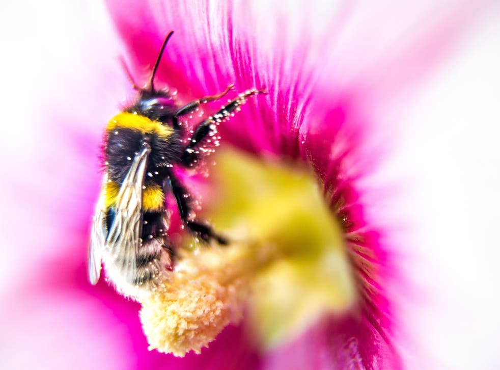 Fruit trees pollinated by the affected bumblebees produced apples with 36 per cent fewer seeds