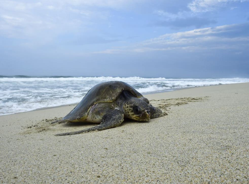A Golfina sea turtle arrives to spawn at Morro Beach