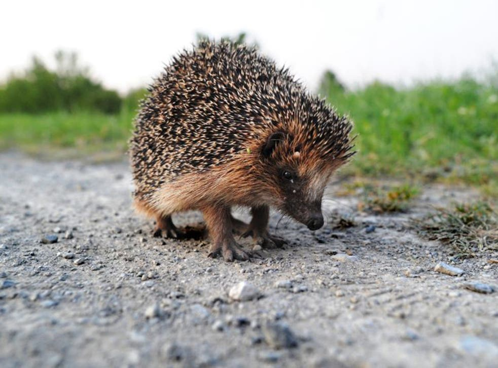 Hedgehog numbers have plummeted as a result of modern farming and rapid development