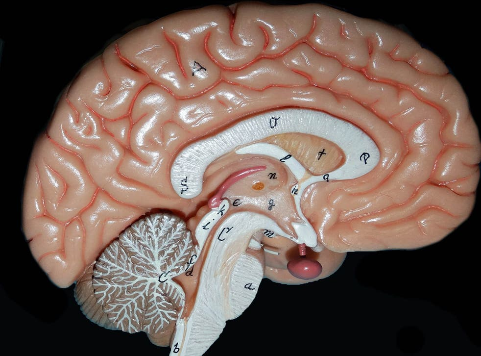 The human brain map, showing the different areas that have different roles.