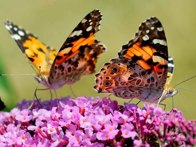 Butterflies that were widespread across Britain had fallen by 58 per cent in England in 10 years, according to the study