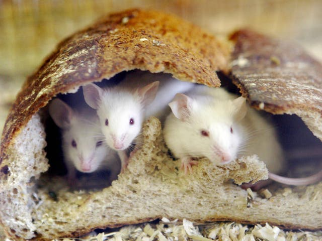 Mice who acted aggressively toward inferior mice developed a preference for bullying, researchers found