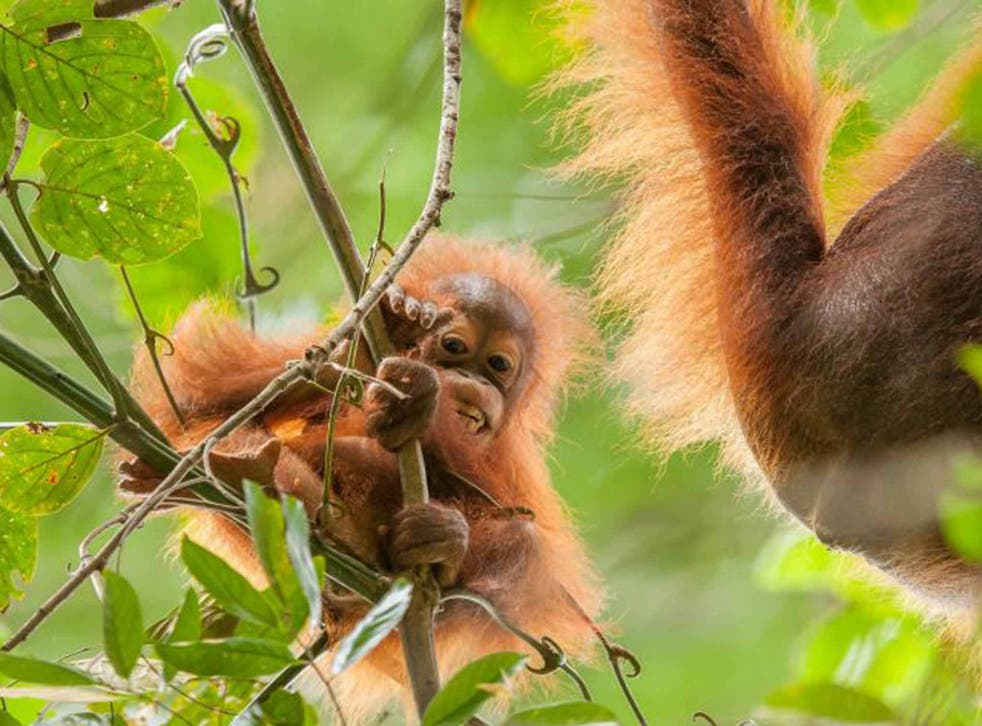 Baby orang-utan are nurtured by their mothers for seven years