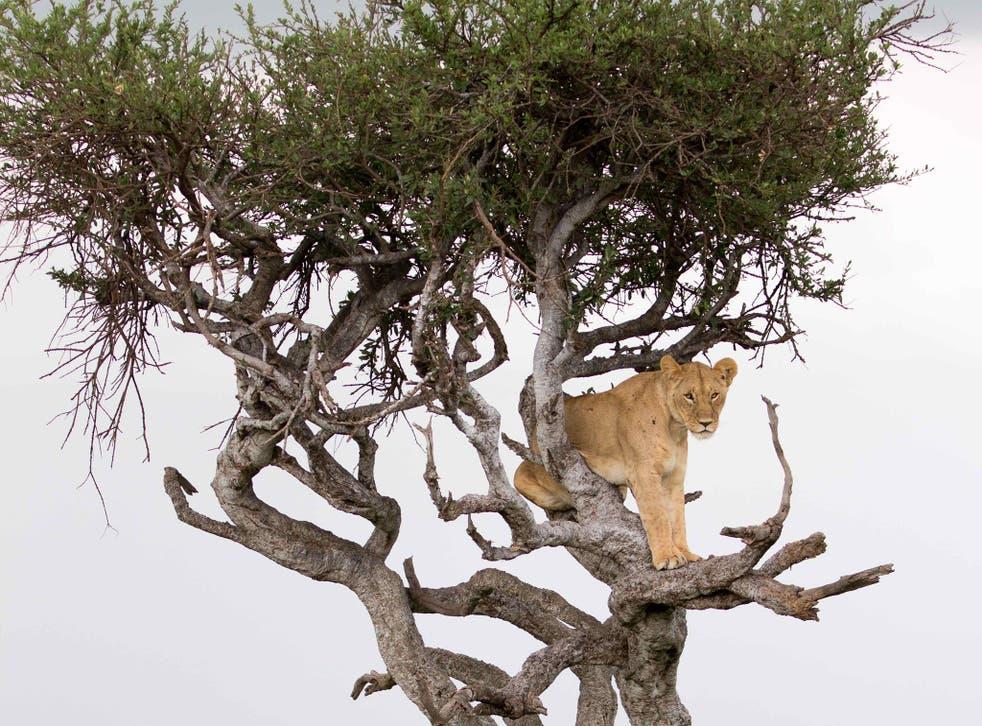 The tree-climbing lioness