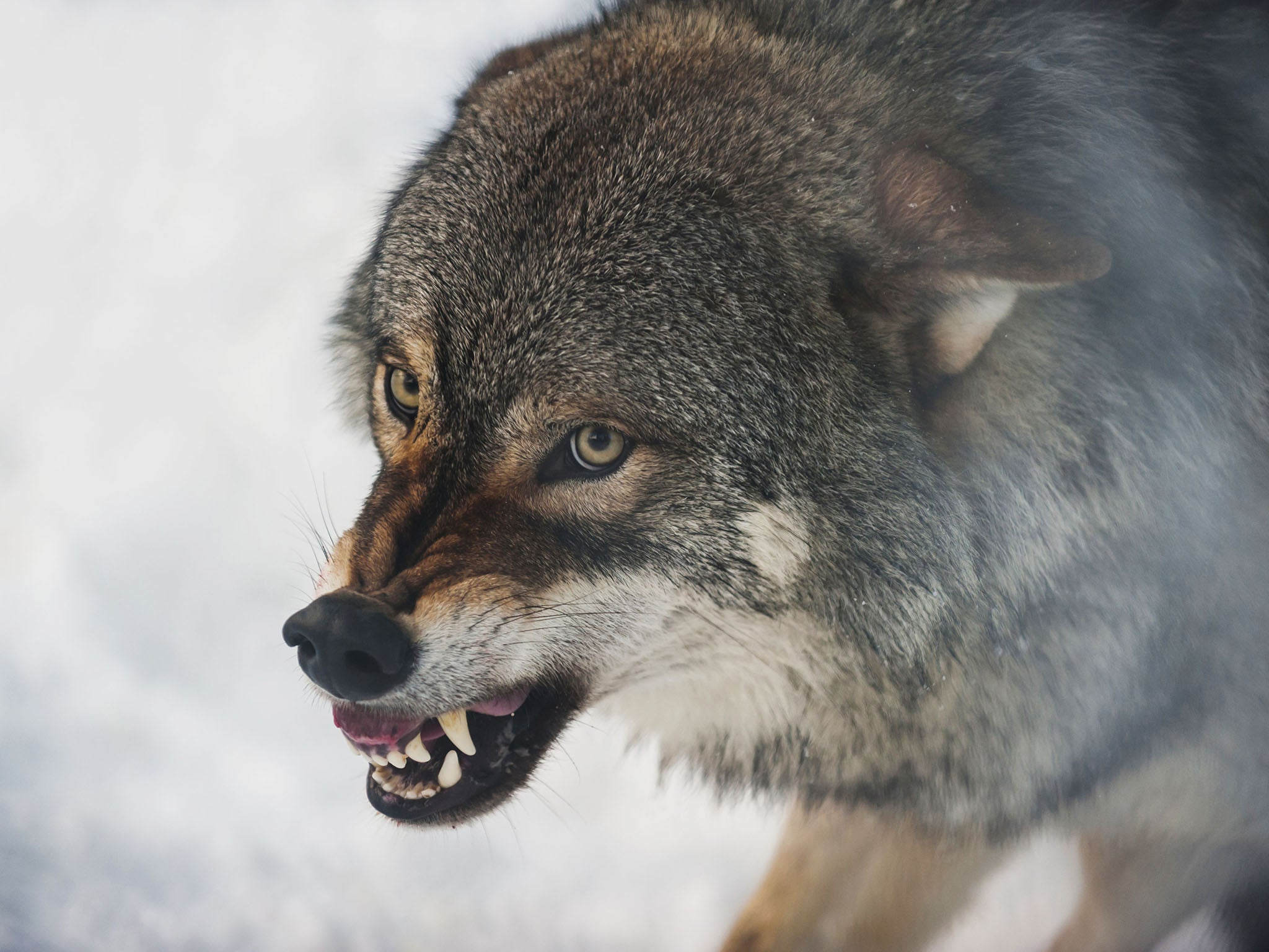 wolf-norway-hunting-snow.jpg