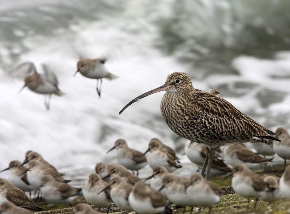 'So fast has been its fall in numbers that two months ago the curlew was put on the Red List of the UK's most endangered birds'