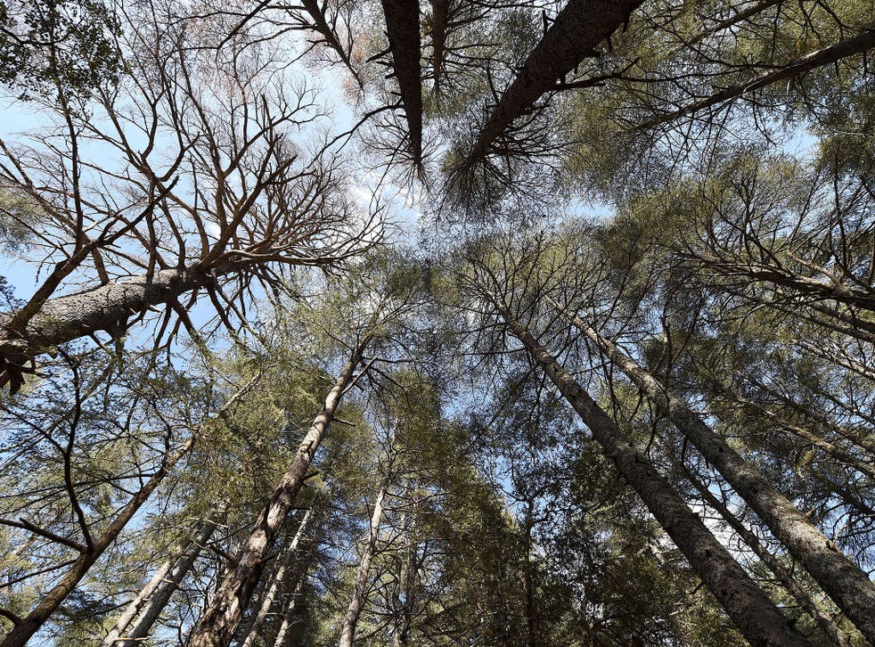 The forest of cedars in the Moroccan town of Azrou. The earth has lost more than half its forests over the course of human history