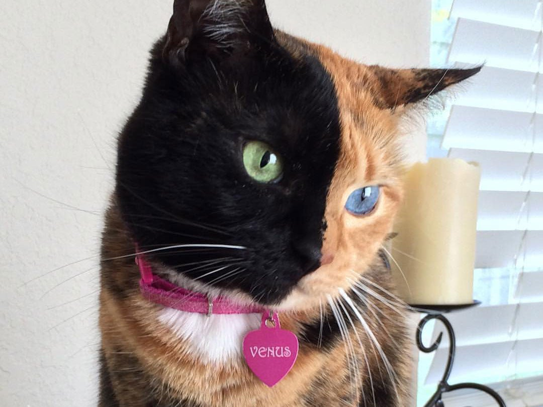 Meet Venus The Two Faced Cat And Internet Sensation The