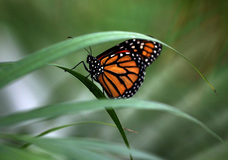 three quarters of the uk s butterfly species have declined in the