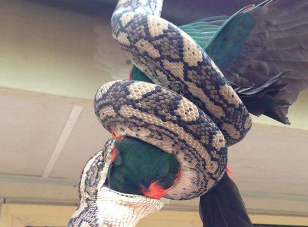 The carpet python constricts and eats a king parrot in one bite
