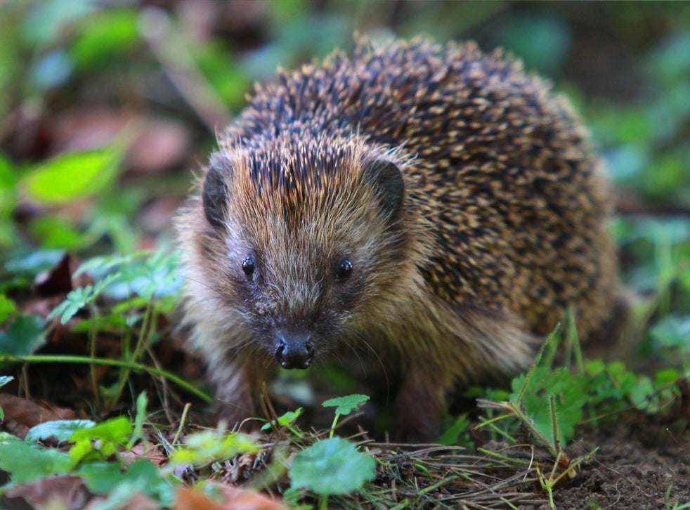 The UK is one of the most nature-depleted countries and numbers of hedgehogs, along with other native species, have plummeted already