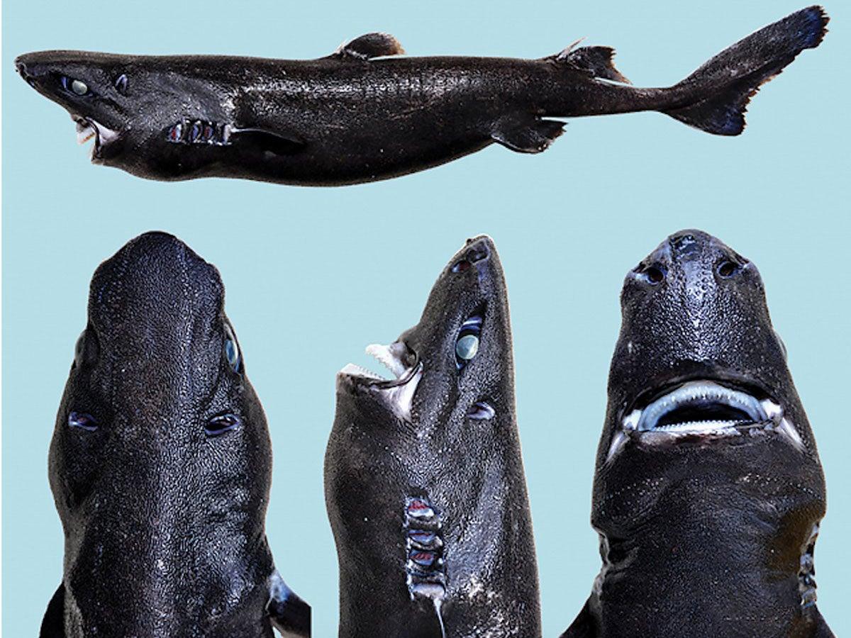 scientists just discovered a weird new shark that glows in the scientists just discovered a weird new shark that glows in the dark so they officially d it the ninja lanternshark the independent