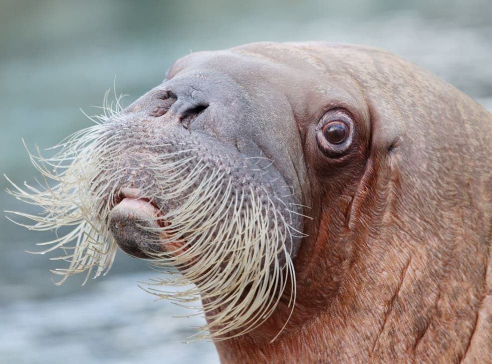 'Walrus' has no rhyme in the English language
