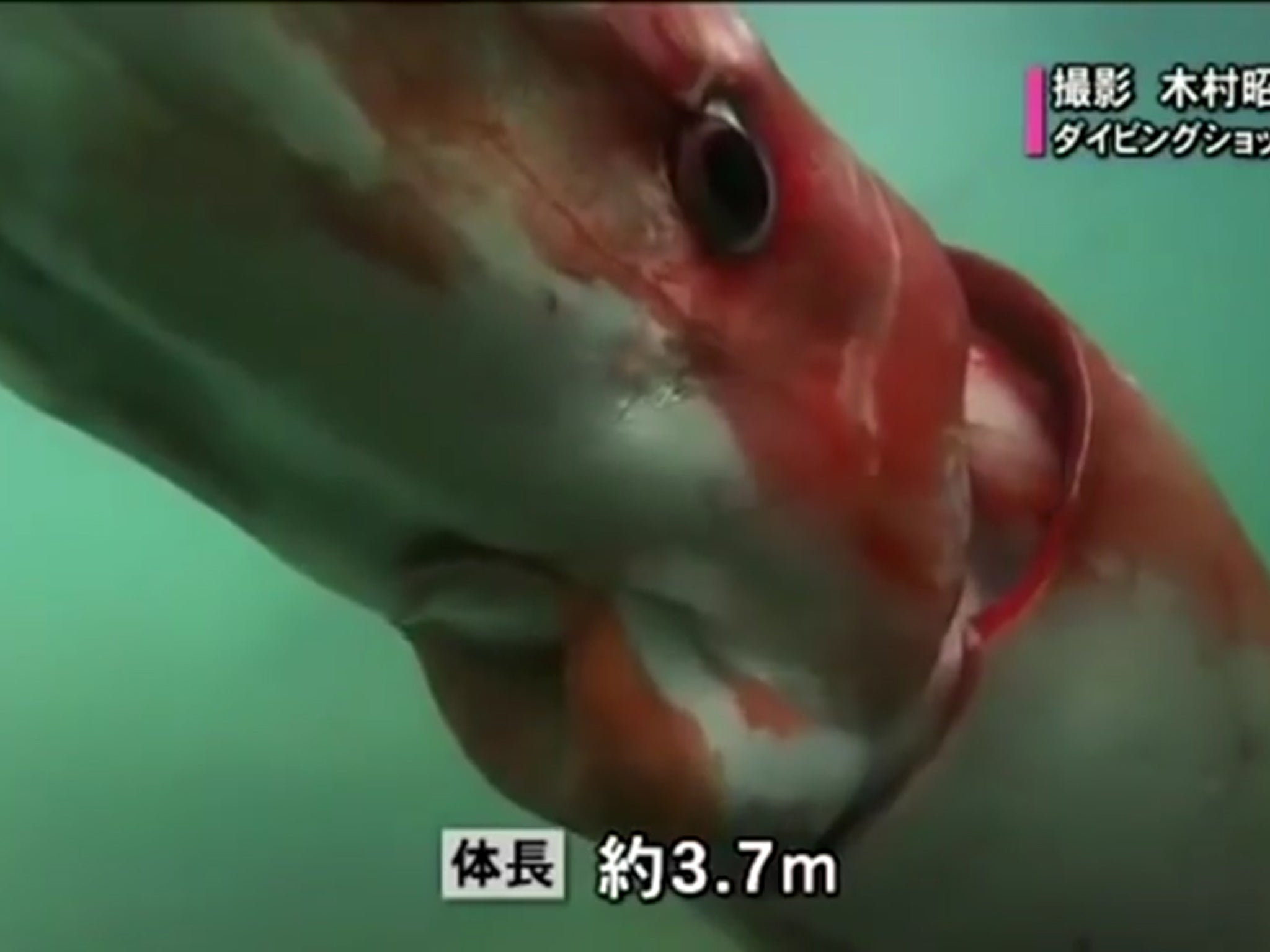 Read More Rare Video Shows Giant Squid Cruising Along Japanese Harbour