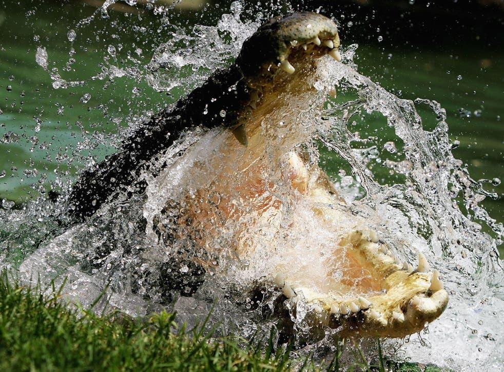 A Saltwater Crocodile pictured in Australia