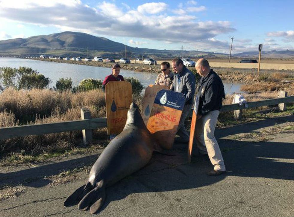Volunteers try to corral the seal on Highway 37