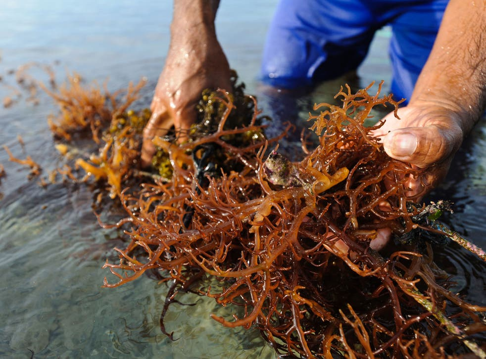 Harvesting seaweed in Indonesia