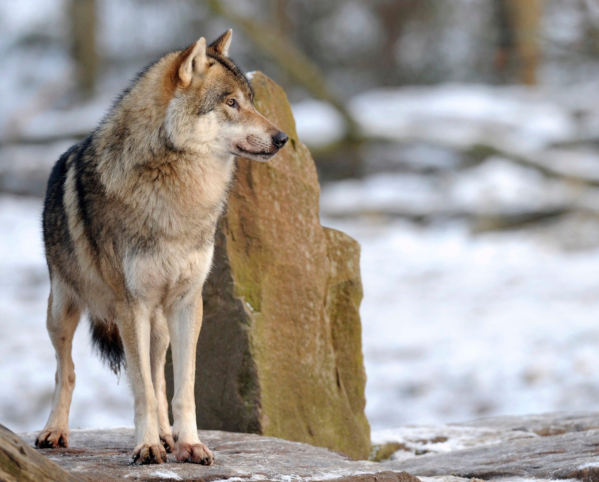 Wolf Schwedisch