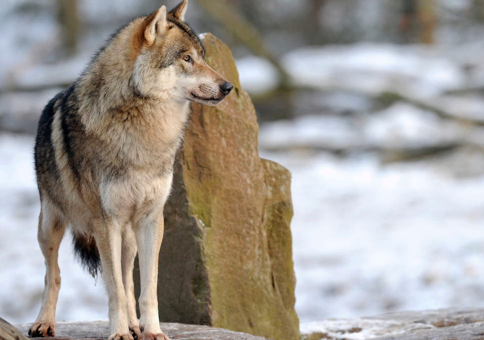 Swedish Hunters To Begin Mass Slaughter Of Wolves Despite Legal