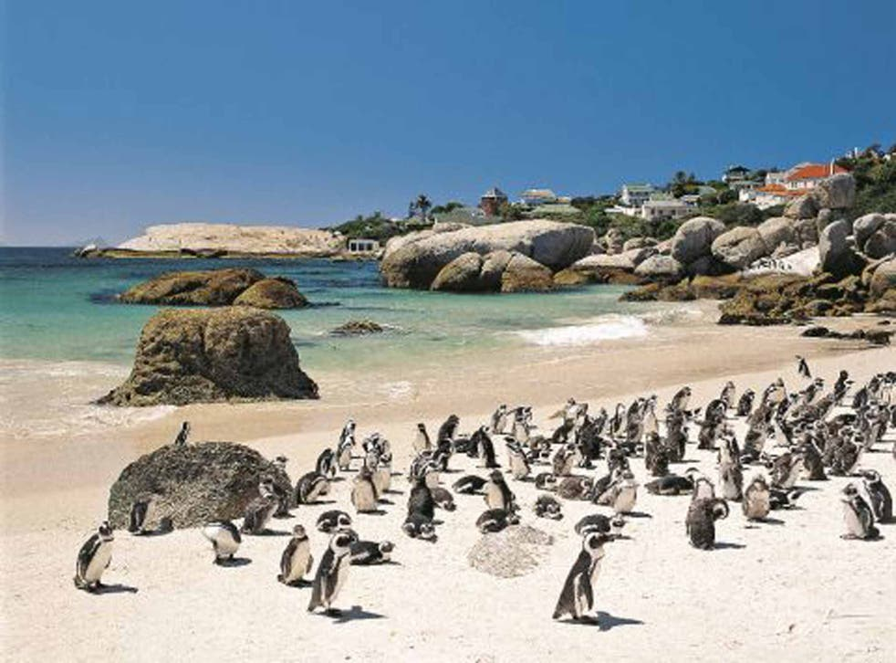 African penguins on South Africa's Western Cape