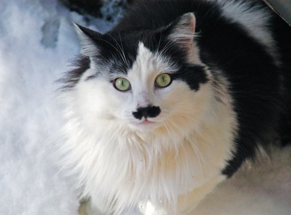 Cats with black markings under their nose have been called 'Hitler cats' or 'kitlers'