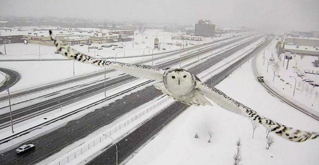 Image result for owl in traffic camera uk