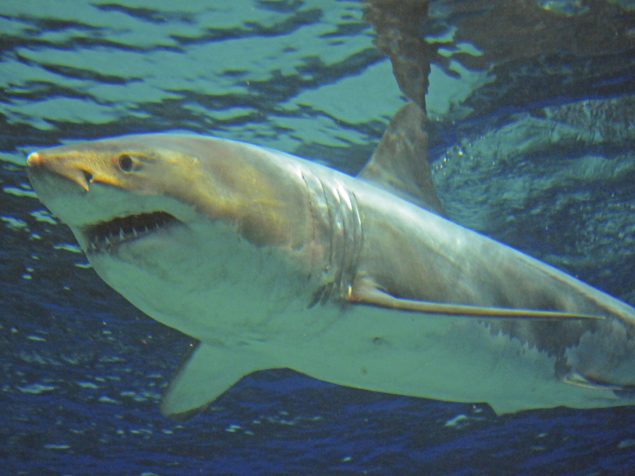 Fish in tank died - Great White Shark Dies Days After Being Put In Japanese Aquarium In Cruel And Wrong Case Of Captivity The Independent