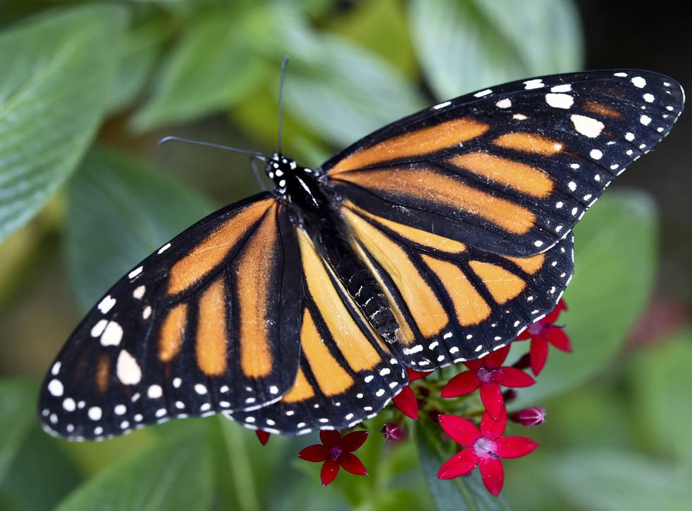 Monarch butterflies were called 'Harvest butterflies' by Native American tribes because they arrived at the same time as the corn harvest