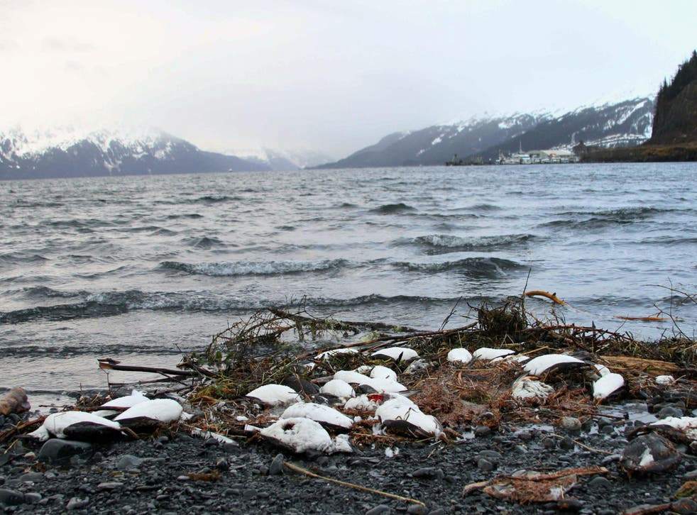8,000 common murres have been shored up in Alaska
