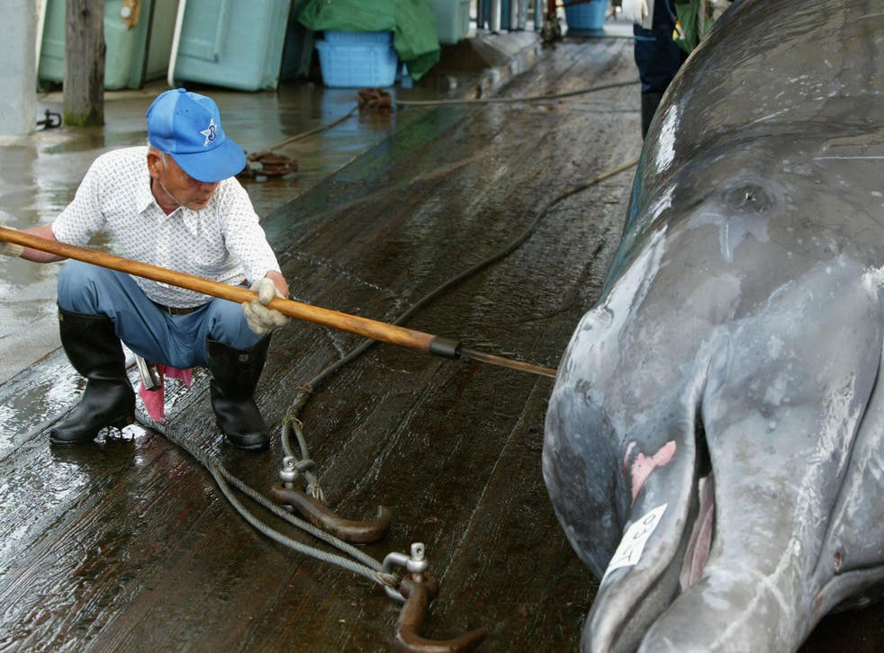 A Japanese whaler cleans and cuts meat from a Baird's Beaked Whale