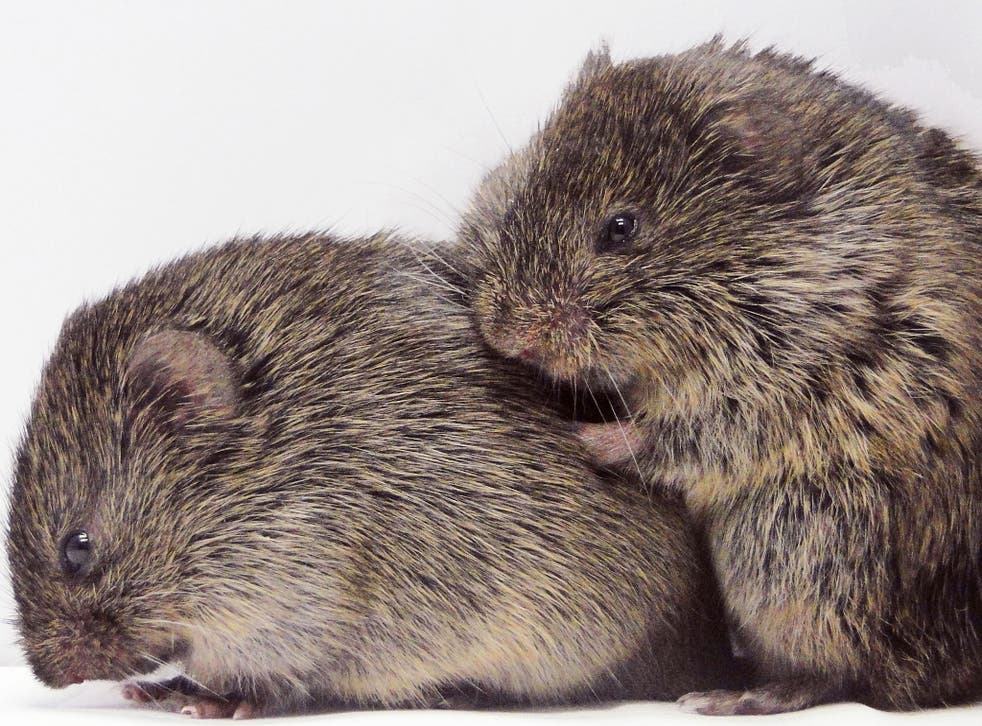 Vole models: mammals could shed light on the role of empathy in human mental health, a study says