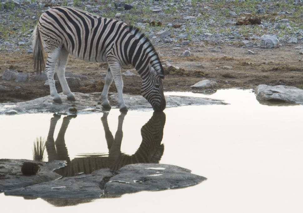 Zebra dating
