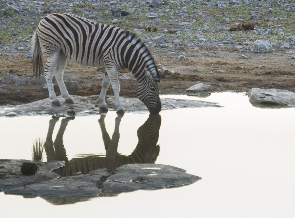 A zebra is pictured at a waterhole