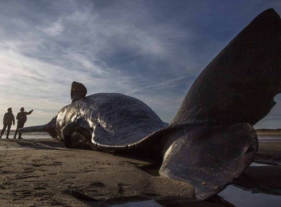 A whale that washed up on a beach in Skegness in January