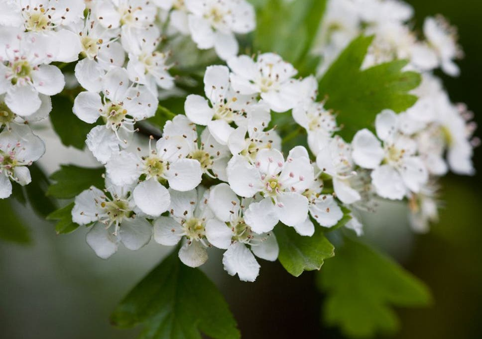 More than 600 species of british flowers in bloom on new years day hawthorn has been spotted in flower at new year a whole five months earlier than mightylinksfo