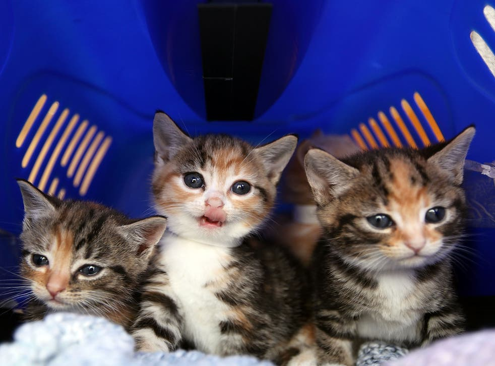The RSPCA has confirmed reports of kittens being sold on Facebook as 'bait' are untrue
