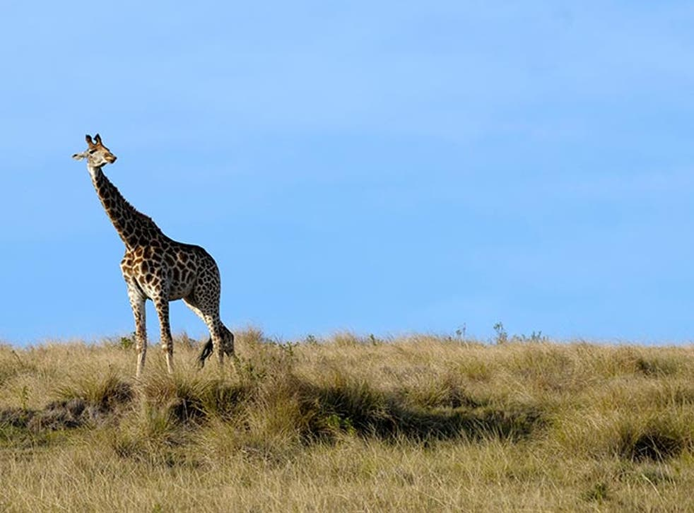 The giraffe has been spotted in Tarangire in Tanzania (file image)